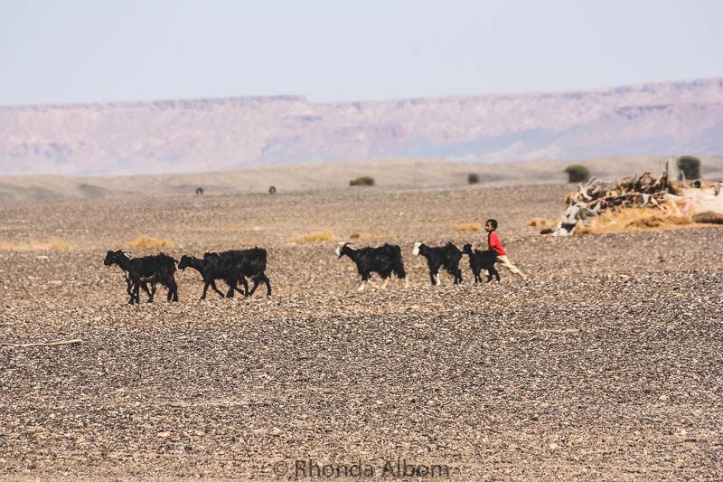 Young Bedouin boy moving goats in the Sahara desert in Morocco