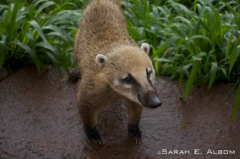 Coati at the Iguazu Park in Brazil. Photo copyright ©Sarah Albom 2016