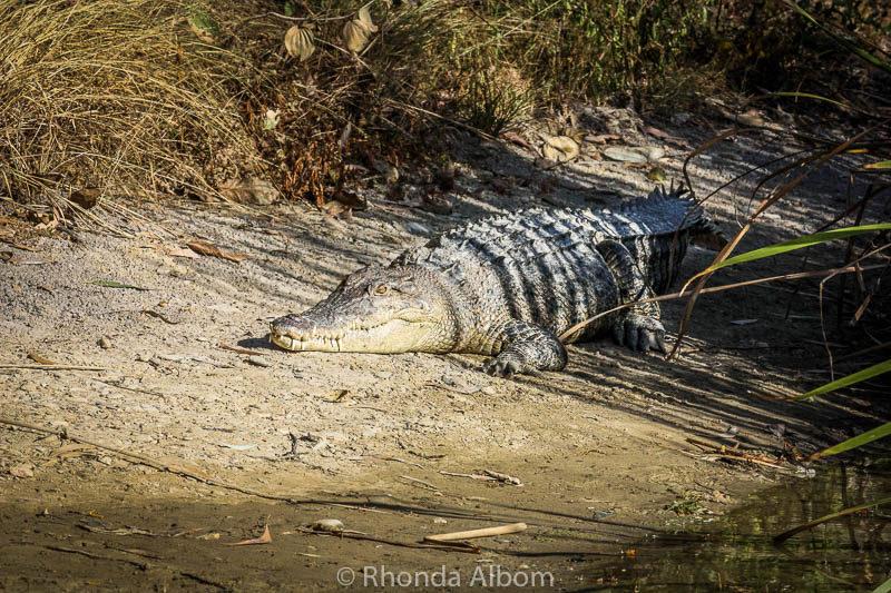 Crocodile in Australia
