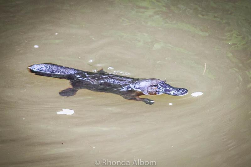 Platypus seen in Queensland Australia
