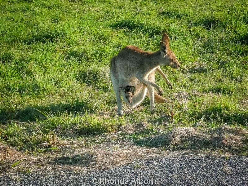 Kangaroo and joey seen on the Sunshine coast in Queensland. They sure look like adorable Australian animals.