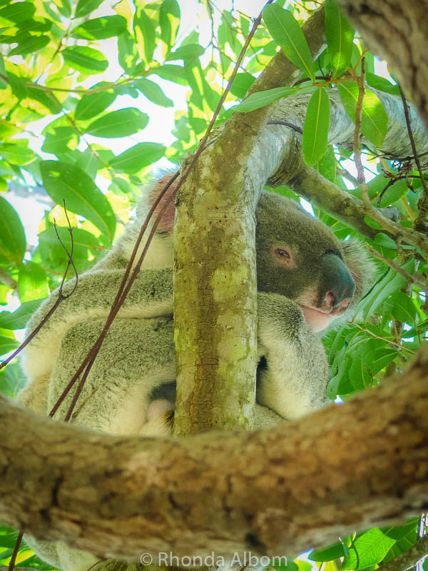 We spotted this koala high up in a eucalyptus tree in a park in Noosa on the Sunshine Coast of Australia