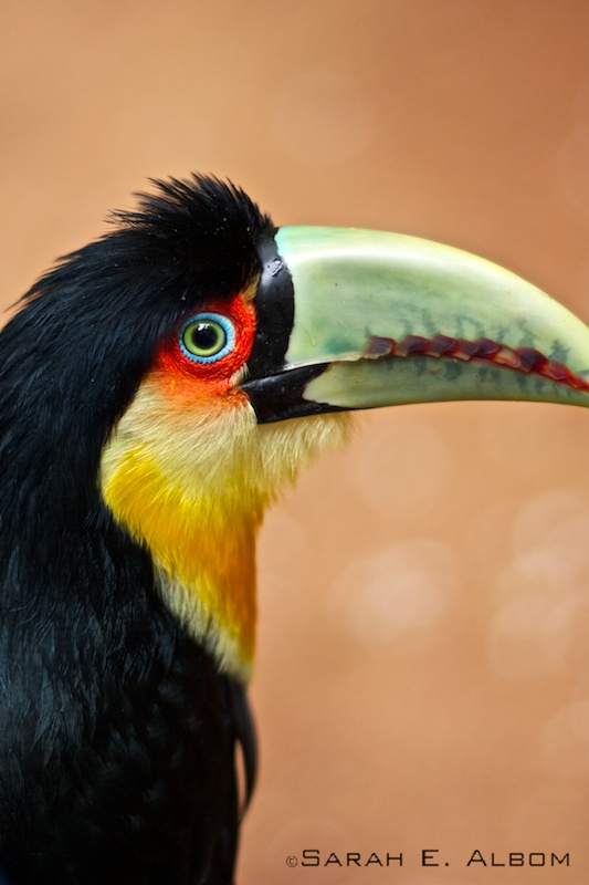 The Green-Beaked Tucan, Parque Das Aves, Brazil. Photo copyright ©Sarah Albom 2016. See more at albomadventures.com/parque-das-aves