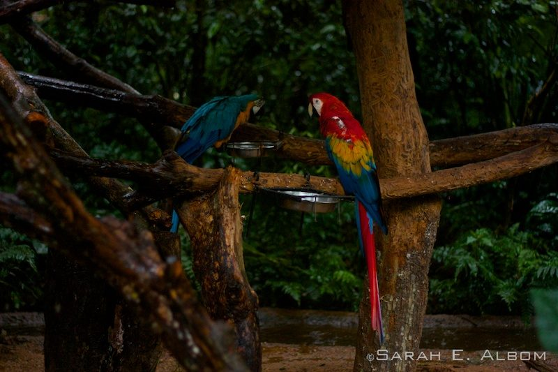 A scarlet and blue-and-yellow macaw, Parque das Aves, Brazil. Photo copyright ©Sarah Albom 2016