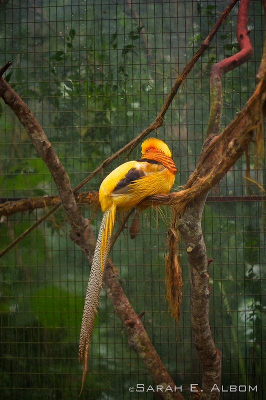Golden bird, Parque das Aves, Brazil. Photo copyright ©Sarah Albom 2016