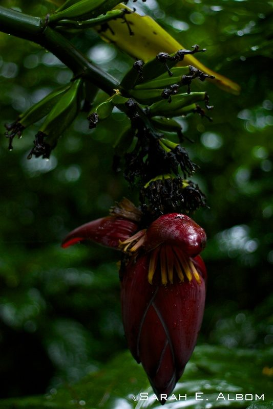Banana plant at Parque das Aves, Brazil. Photo copyright ©Sarah Albom 2016