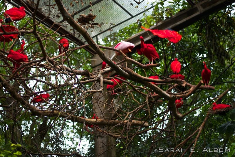 Scarlet Ibis in the trees, Parque das Aves, Brazil. Photo copyright ©Sarah Albom 2016