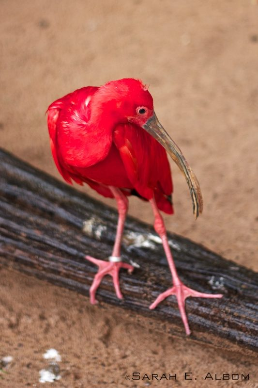 Scarlet Ibis, Parque das Aves, Brazil. Photo copyright ©Sarah Albom 2016