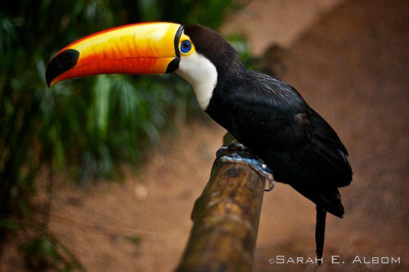 Toco Tucan, Parque das Aves, Brazil. Photo copyright ©Sarah Albom 2016