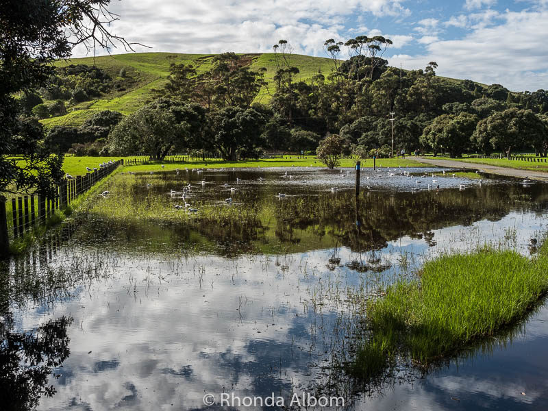 Flooded grasslands at Shakespear Park, Auckland New Zealand