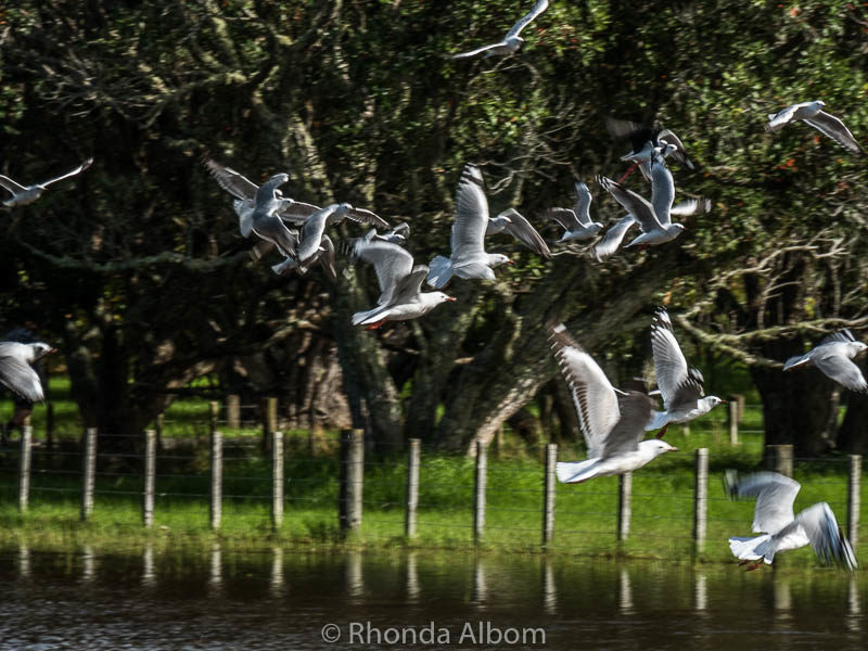 Without warning, the seagulls took flight in New Zealand
