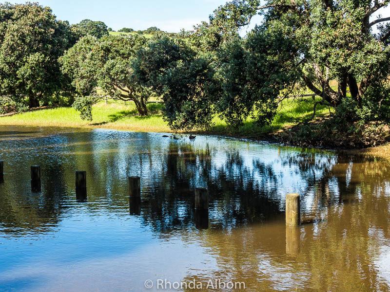 Ducks enjoying flooded grasslands at Shakespear Park, Auckland New Zealand