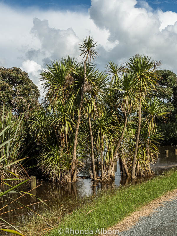 Cabbage trees in flooded ground in New Zealand