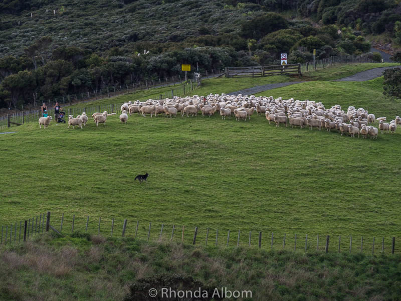 A dog moving the sheep in Shakespear Park, Auckland, New Zealand
