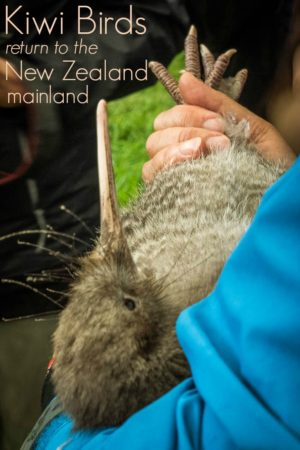 Little spotted Kiwi Birds released into Shakespear Park in Auckland New Zealand