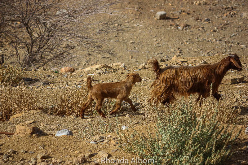 Goats in Misfat Al Abriyeen, Oman