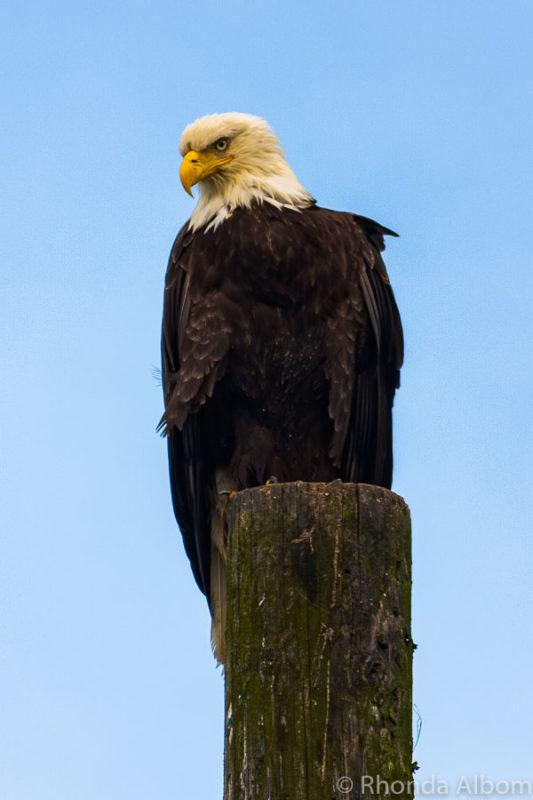 Eagle in Juneau Alaska