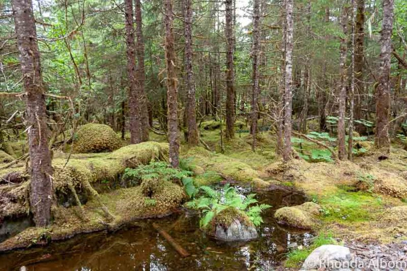 Moss covered trees in the forest as we are hiking in Juneau Alaska