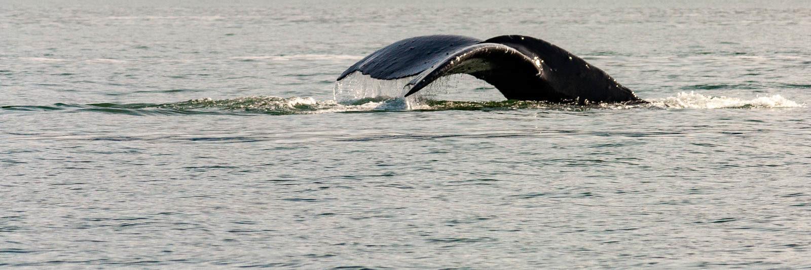 A whale tail in Juneau Alaska