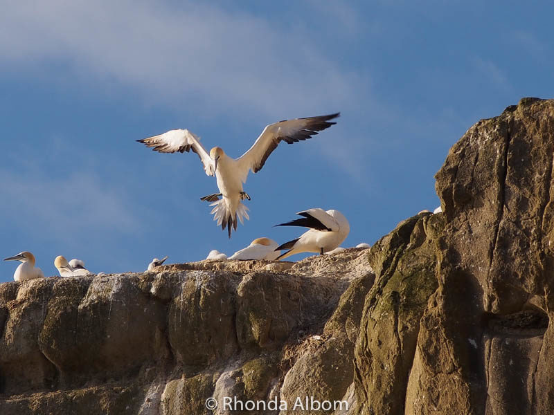 Gannets on the cliff over Muriwai Beach in Auckland New Zealand