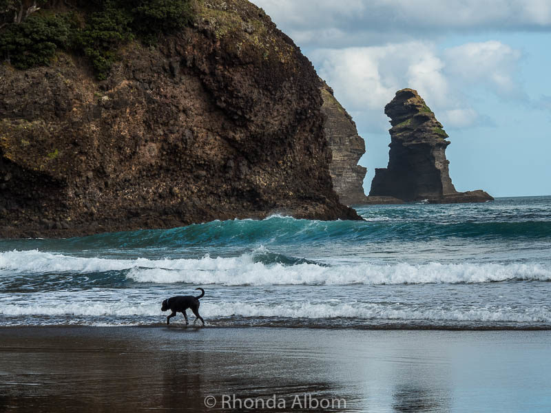 A dog walks in the surf at Piha, on of the beaches in west Auckland New Zealand