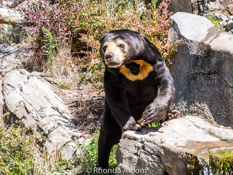 Sun Bear at the Wellington Zoo in the capital of New Zealand