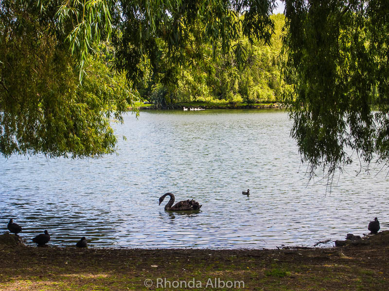 Watching the black swans at Western Springs Park is one of many free things to do in Auckland New Zealad
