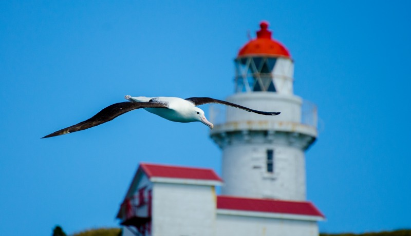 Northern Royal Albatross in flight with the Taiaroa Head Lighthouse in the Background. Photo Credit: Chris McCormack