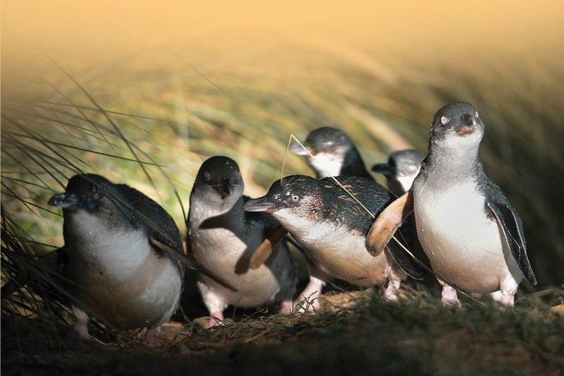 Blue Penguins Pukekura - Credit Stephen Jaquiery