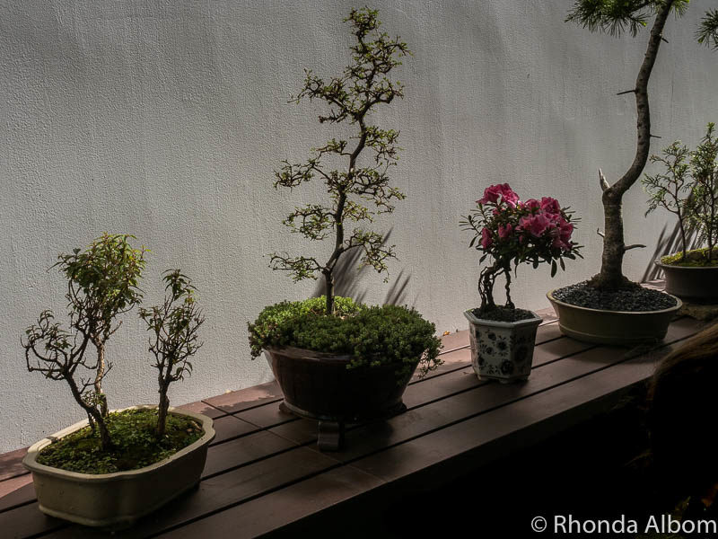 Penjing are small manicured trees in China