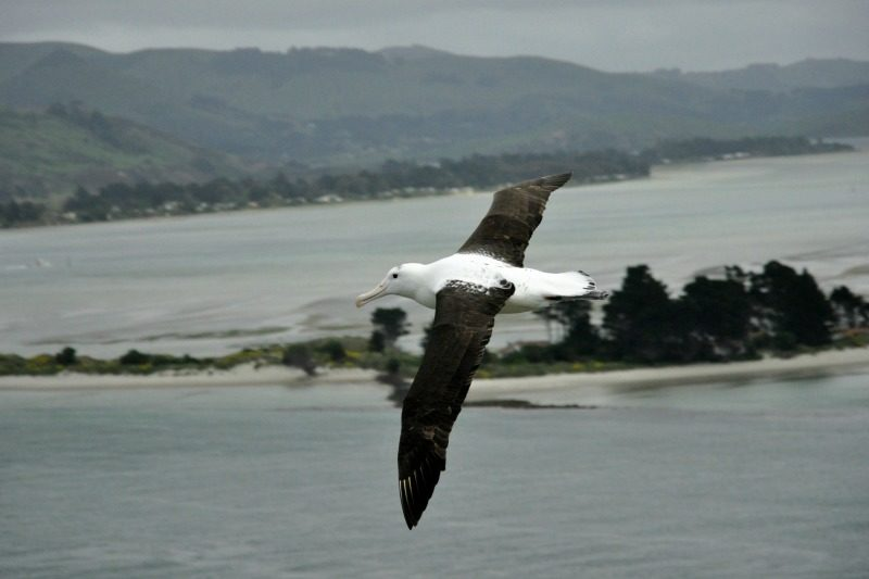 Royal Albatross flying Otago Harbour, credit Leon Chu