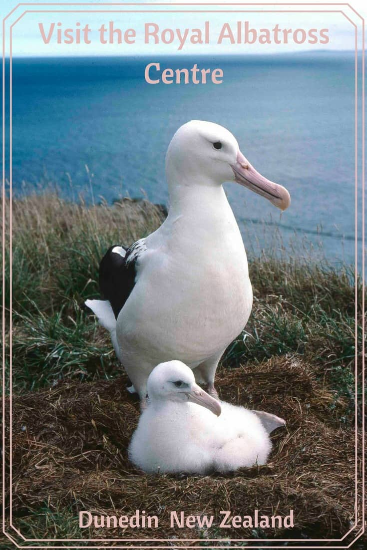 This Royal Albatross and chick, along with a breeding colony of penguins, are amongst the wildlife seen at the Royal Albatross Centre at Taiaroa Head in Dunedin, New Zealand. Read the article to see more.