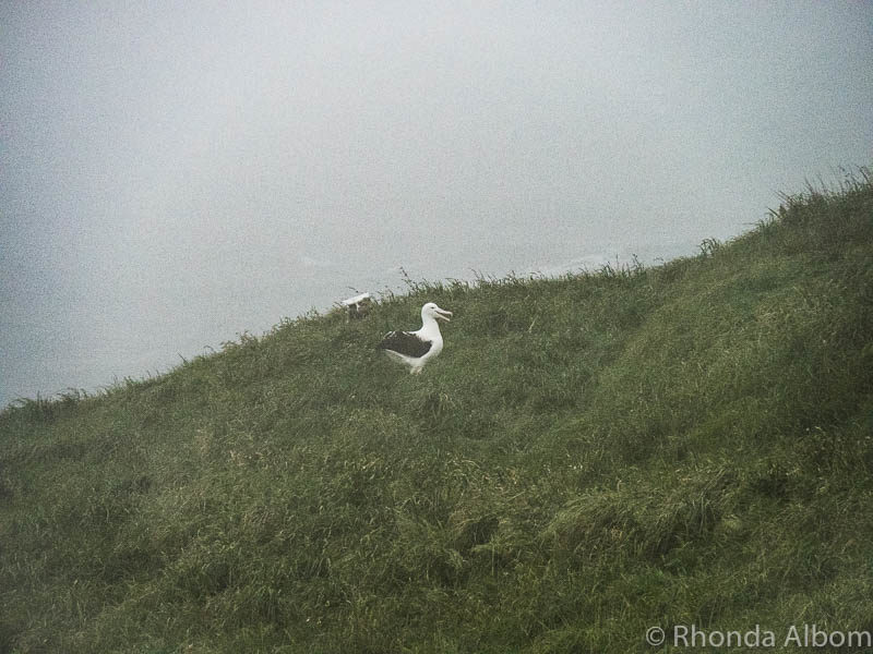Taiaroa Head is home to the only mainland breeding colony of the Northern Royal Albatross