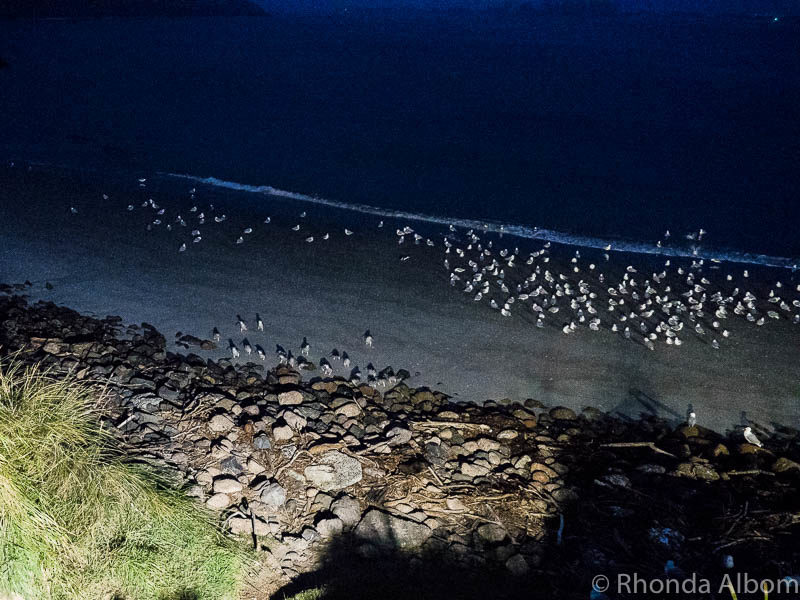 Breeding colony of penguins returning home a the Royal Albatross Centre, Dunedin New Zealand