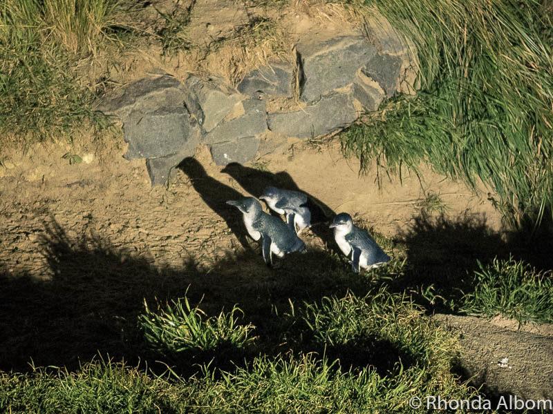Breeding colony of penguins at the Royal Albatross Centre, Dunedin New Zealand