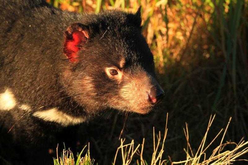 Tasmanian Devil at Orana Park in Christchurch New Zealand