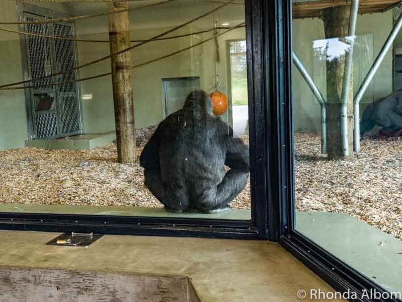Gorilla at Orana Wildlife Park in Christchurch New Zealand