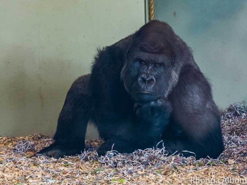 Critically endangered western lowland gorilla at Orana Wildlife Park in Christchurch New Zealand