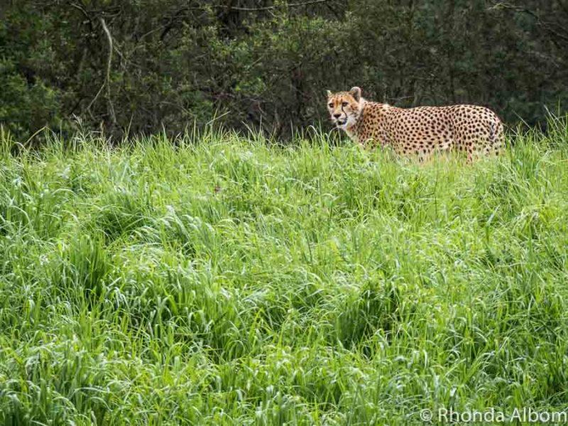 Cheetah at Orana Wildlife Park in Christchurch New Zealand