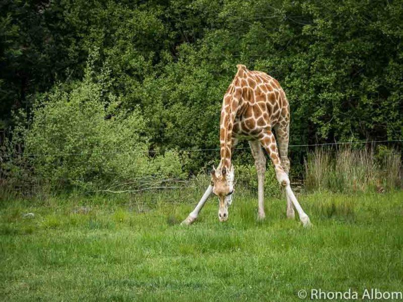 Giraffe at Orana Wildlife Park in Christchurch New Zealand