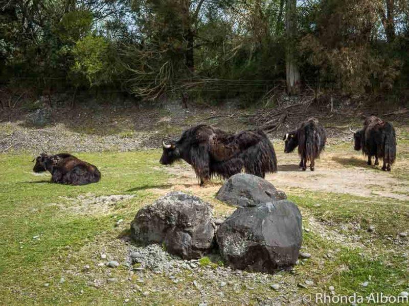 Yak at Orana Wildlife Park in Christchurch New Zealand