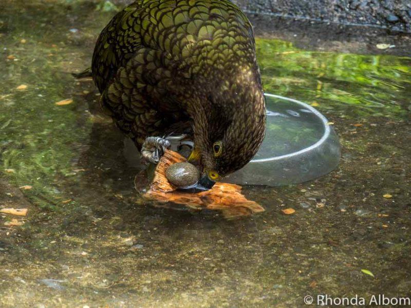 Kea at Orana Wildlife Park in Christchurch New Zealand