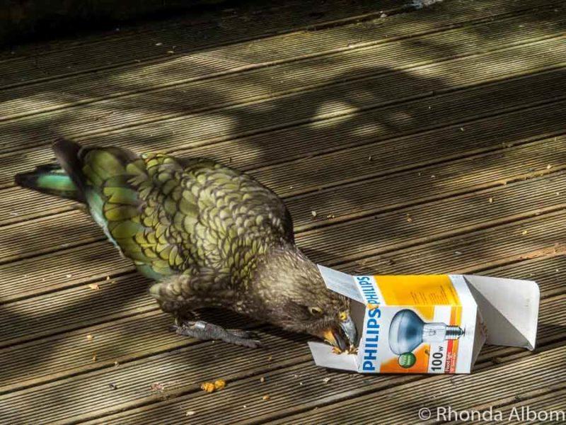 Kea eating at Orana Wildlife Park in Christchurch New Zealand