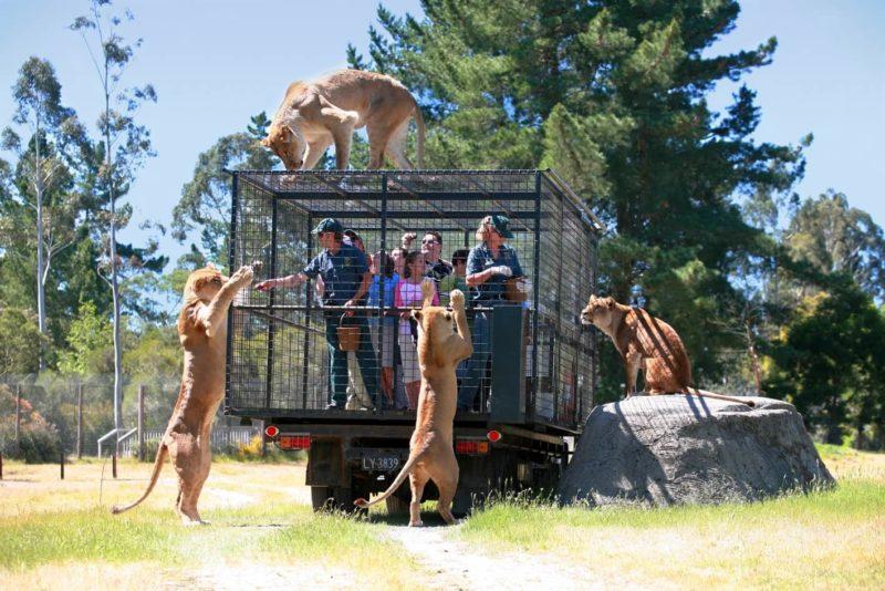 Orana Wildlife Park Lion Encounter