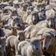 Many New Zealand sayings involve sheep