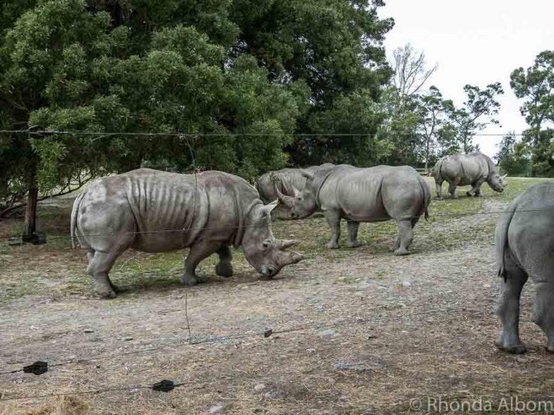 White rhino at Orana Wildlife Park in Christchurch New Zealand