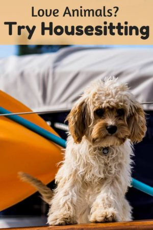 Are you a pet lover looking for free accommodations? If so, check out these tips to get started housesitting and you could be cuddling this adorable dog sitting during your next adventure. Read the article for tips on getting started.
