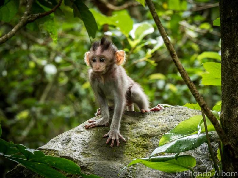 Monkey in Bali copyright Rhonda Albom-110126