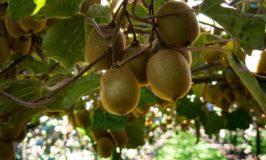 Kiwifruit Country: Tour a Kiwifruit Orchard in New Zealand