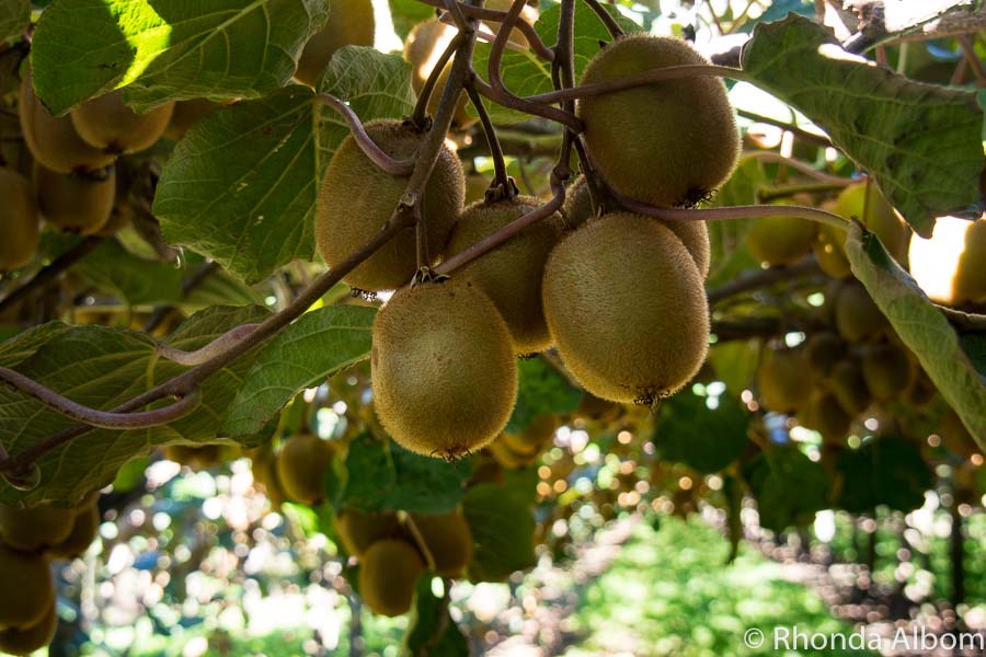 Kiwi Fruit Tree Pictures